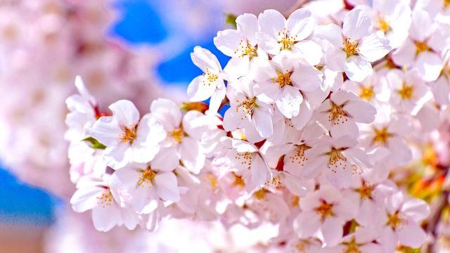 桜スイーツ 2020 ローソン LAWSON コンビニ